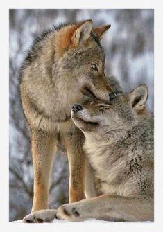 Wolf Spirit, Spirit Animal, Wolf Pictures, Animal Pictures, Beautiful Creatures, Animals Beautiful, Tier Wolf, Animals And Pets, Cute Animals