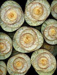 horticultural art on flickr :: musa