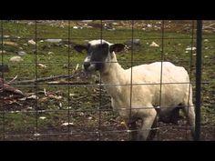 Grito de oveja asustada