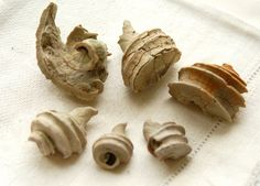 6 fossilized ecphora shells by treasurehider on Etsy