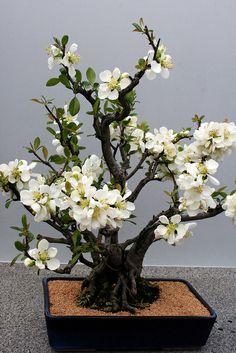 Bonsai… Spring bonsai | Flickr - Photo Sharing!