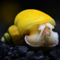 Aquarium Snails, Aquarium Sand, Acrylic Aquarium, Planted Aquarium, Snails For Sale, Apple Snail, Fish Feed, Sea Snail, Aquarium Decorations