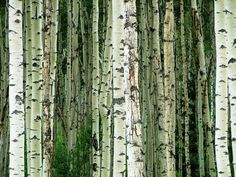 Aspen - against green wall in living room? Aspen Trees, Birch Trees, Waves After Waves, Future Farms, Aspen Colorado, Forest Garden, Nature Tree, Local Artists, Science Nature
