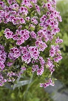 Engelsk pelargonia med sine romantiske blomster er på full fart tilbake i norske hager.