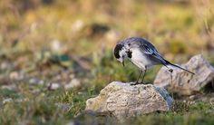 Fotograaf: corineoste 22-2-2014 Categorie:Vogels (mus, valk, etc) Nederlandse naam: witte kwikstaart Wetensch. naam: Motacilla alba