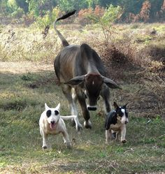 Bull and bullies! Or it might be a bull when it grows up?