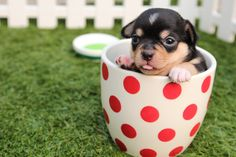 Congratulations on New Puppy, Adoption Cute Chihuahua in Cup card. Cute Chihuahua, Chihuahua Puppies, Cute Puppies, Cute Dogs, Dogs And Puppies, Cheap Puppies, Cute Puppy Videos, Cute Animal Videos, Cute Animal Pictures