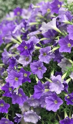 Supertunia Blue Skies will add a range of colorful blooms to your patio containers this summer. Plant it on its own, or mix it with a wide range of your other favorite colors! Garden Border Plants, Garden Borders, Container Flowers, Container Plants, Flower Garden Plans, Blue Plants, Blue And Purple Flowers, Hummingbird Garden, Unusual Flowers