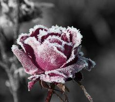 snow-flower-wallpaper.jpg 1,440×1,280 pixels