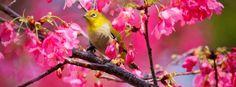photo oiseau dans un cerisier