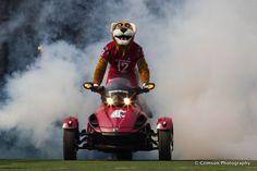 Butch T. Cougar, Washington State University mascot, makes a grand entrance at a WSU game.