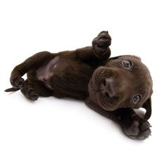 Artlist Collection THE DOG Labrador Retriever — Did you know? Dogs' only sweat glands are between their paw pads.