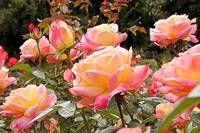 Climbing Pink Peace Roses
