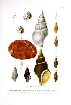 Animal - Sea Shell - Variety, Nautillis