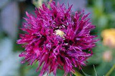 Takalo-Roppolan puutarha- ja mansikkatila: Unikon siemensekoitusta myynnissä Poppy, Plants, Plant, Poppies, Planets
