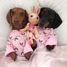 Dachshunds in pyjamas