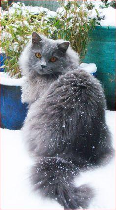 Highlander kitty ~ blue british longhair