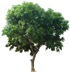 Mango Tree - Want to be able to indentify plants with your mobile phone? Tree Psd, Tree Cut Out, Tree Photoshop, Planer Layout, Mango Tree, Plant Pictures, Plant Images, Tree Images, Plant Identification