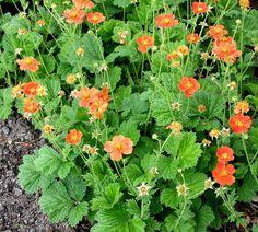 Tulikellukka, Borsii Garden Shrubs, Garden Plants, My Flower, Flowers, Plant Images, Perennials, Bloom, Herbs, Olympus