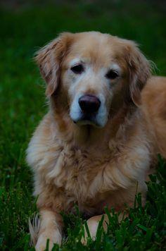 Bailey the Golden Retriever