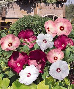 Luna Perennial Hibiscus - Set of Two Cottage Farms Direct