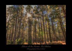 Lliano de las Ventas - Diese Aufnahme ist auf einer Wanderung durch den Lliano de las Ventas auf La Palma entstanden. Der Lichteinfall zusammen mit den Herbstfarben haben mich sofort in ihren Bann gezogen. Trunks, Plants, Canary Islands, Fall Color Schemes, Drift Wood, Tree Trunks, Plant, Planets