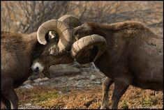 Bighorn_Sheep_rut