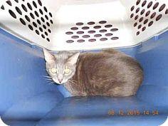 Long Beach, CA - Domestic Mediumhair. Meet FOXY, a cat for adoption. http://www.adoptapet.com/pet/13609304-long-beach-california-cat