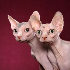 """Sphynx, image credit: 1petloversworld.com. """"You can call it the Sphynx, the most famous hairless cat breed in the world.  Originating in Canada in 1966 when a single hairless kitten named Prune was born. The Sphynx seems like a relatively new breed. However, hairless cats can be traced back to the time of the Aztecs! While they appear completely bald, the Sphynx's are actually covered in a light """"peach fuzz."""""""""""