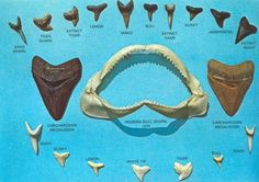 shark teeth: