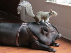 Seriously, they love every creature in this world and every creature loves them.   16 Reasons Pigs Make The Best Pets