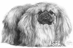 'Pekingese' print from graphite pencil drawing by Mike Sibley