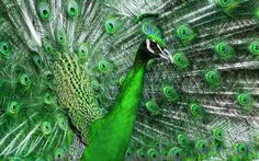 Green peacock Wallpapers Pictures Photos Images