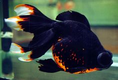 Black Fancy Goldfish | Telescope Eye Goldfish