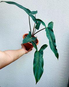 XXL Alocasia /'Nairobi Nights/' rare plant with pink stems