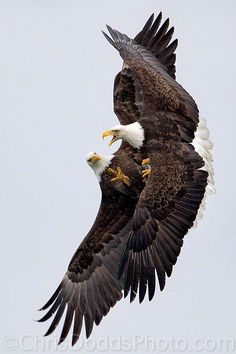 Bald eagles fight over a fish in midair near Homer, Alaska. I lived in Homer back in 2001-2002. There are SO many bald eagles. It's simply amazing to see them everyday.