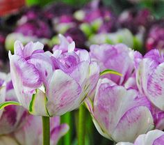 These delightful, double white blossoms open with varying amounts of purple feathering along each petal edge. Tulips Flowers, Spring Flowers, Daisies, White Flower Farm, Seed Packaging, Spring Bulbs, Gardening Supplies, Spring Garden, Decoration