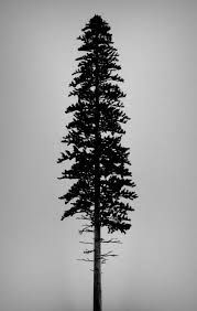 pine tree tattoo - Google Search