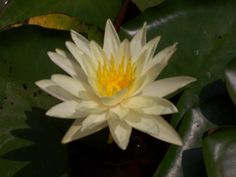 - White water lily (Nymphaea alba)  Secession, abundance. The expression of wholeness and abundance, but not in competition, but in a spirit of cooperation, whether it be work, money, family or social relations of word frames. Against the fear of losing what is ours. Those who doubt their own abilities and fail in their financial life.