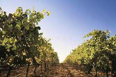 Sunshine, blue sky and green vines