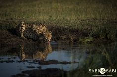 This impressive male cheetah enjoyed a drink before moving off to rest in the shade Private Games, Game Reserve, Cat 2, Big Cats, Cheetah, Panther, South Africa, Safari, Adventure