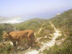 Caracal spotted at Cape Point Nature Reserve, Western Cape, South Africa [pic taken 31 Jan 2012]