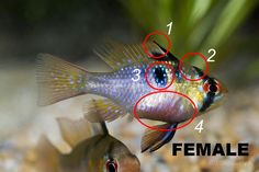 How To Sex German Blue Rams, Microgeophagus Ramirezi, Aqua Eden Articles