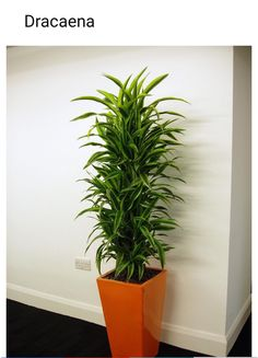 When you are looking for such plants choose that are known for their ability to grow in indirect sunlight. They are ideal shade-loving plants, naturally growing in indirect sun. These plants adapts well to the smaller amount of light and thrives normally. Tall Indoor Plants, Indoor Palms, Indoor Plants Low Light, Hanging Plants, Ornamental Plants, Foliage Plants, Best Desk Plants, Apartment Decoration, Growing Plants Indoors