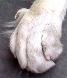 Everything you need to know about DEW CLAWS and why you should pay special attention to them when trimming dogs' nails. Dog Grooming Tips, Claws, Your Dog, Pup, Future, Nails, Dogs, Decor, Finger Nails