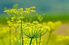 Fennel is a versatile garden gem that's easy to grow with few pests and diseases. Learn what you need to know about growing fennel. Organic Vegetable Seeds, Organic Vegetables, Growing Fennel, Foeniculum Vulgare, Sensitive Plant, Rabbit Eating, Home Tutors, Math Tutor, Low Maintenance Garden
