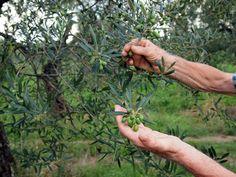 7 Razones para consumir Aceite de Oliva Virgen Extra (3)