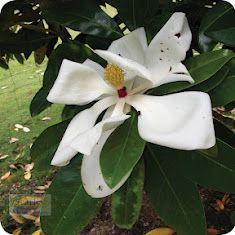 Magnolia Jimna Beautiful Large White Flower Http Www