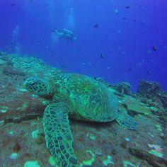 Another day in paradise!  #Hawaii #scuba #Gopro customers #shipwreck #diving with #pendantbutterflyfish #hawaiiansergeantfish #greenseaturtle #whitespotteddamselfish with @hawaiiscubadiving #honolulu http://ift.tt/1Pfghc2