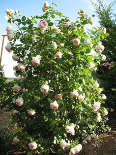 Planter Rosier, Plantation, Perennials, Roses, Plants, Beautiful, Dimensions, Gardens, Tropical Garden